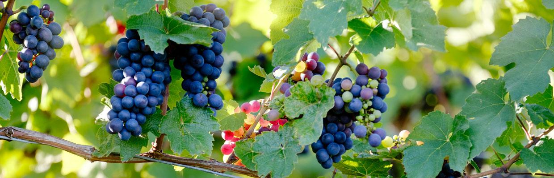 Sontuosi grappoli di uva nera circondati dai pampini della vite rigogliosa della Casetta Pergola.