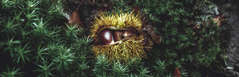 Un riccio di castagna maturo presenta i suoi frutti marroni e lucenti su un tappeto di muschio dall'aspetto di miniature di abeti.