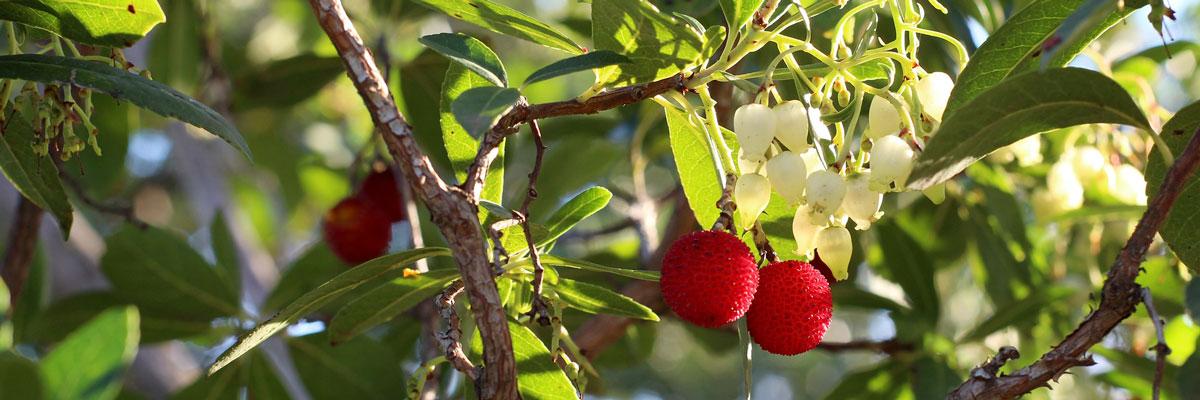 Sulla pianta del corbezzolo possono essere presenti contemporaneamente il rosso dei frutti, il bianco dei fiori e il verde delle foglie.