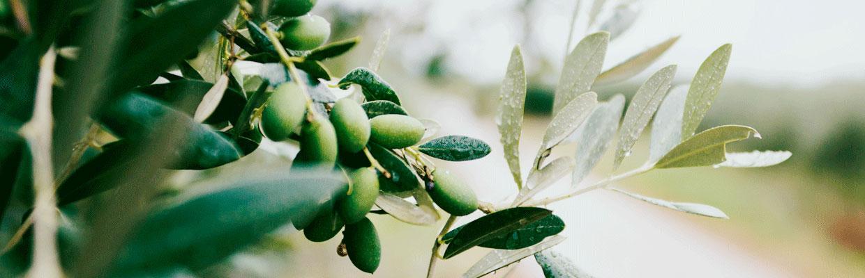 Ramo di ulivo con un grappolo di frutti e le foglie dal caratteristico aspetto, verde nella parte superiore e argentato nella pagina inferiore.