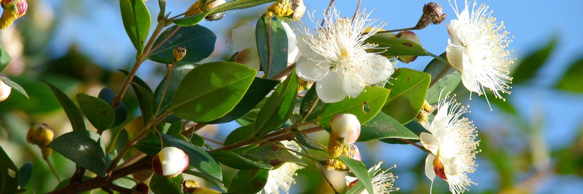 Fiori bianchi di mirto, arbusto aromatico sempreverde tipico della macchia mediterranea.